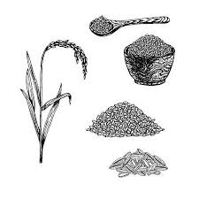 rice plant drawing. Delighful Plant Hand Drawn Set Of Rice Retro Sketches Isolated Vintage Collection Linear  Graphic Design And Rice Plant Drawing D