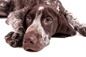 a german short hair pointer with pet insurance looks at the camera