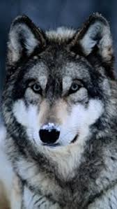 wolf iphone 5 wallpaper. Modren Wolf Wolf Wallpaper Throughout Iphone 5 A