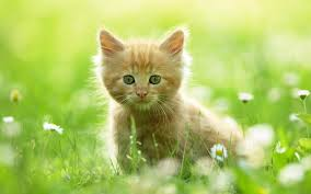 cute cats wallpapers free download. Beautiful Wallpapers Amazing Fun Cute Cat Wallpaper Hd Image Free Download In Cute Cats Wallpapers Free Download 1