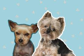 Yorkshire terriers are known for their beautiful silky, flowing coats. 3 Best Yorkie Haircuts For Active Pups The Dog Tale