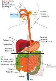 9 anatomical quadrants, anatomical quadrants and regions, anatomical quadrants of the abdomen, anatomical quadrants of the body, four abdominal quadrants, human anatomy. Abdominal Quadrants Regions Of The Body Science Trends