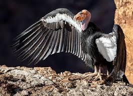 California <b>Condor</b> | The Peregrine Fund