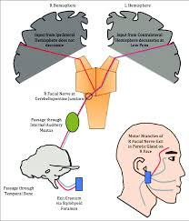 the temp branch of nerve receives input from both cerebral hemispheres in an upper motor neuron injury eyebrow raising is