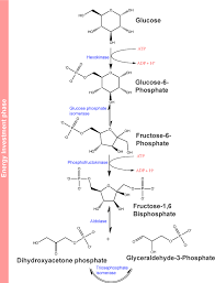 Glycolysis Chart With Enzymes 9 2 Glycolysis Beginning Principles Of Energy And Carbon