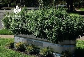 stock tank gardening galvanized stock tank planter central gardener galvanized stock tank water garden