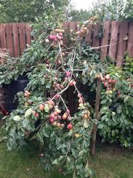 Best 25 Plum Tree Ideas On Pinterest  Pruning Plum Trees Plum Plum Tree Not Producing Fruit