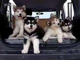 baby husky puppies tumblr. Exellent Husky Morid De Monera And Baby Husky Puppies Tumblr M