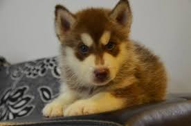 red husky puppy blue eyes. Modren Red Husky  Blue Eyes Red Copper Dog And Puppy W