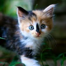 fluffy baby calico kittens. Unique Calico Kittens Images Calico Kittens HD Wallpaper And Background Photos With Fluffy Baby Calico T