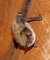 Bat Species Chart Little Brown Bat
