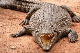 Image result for images of crocodile