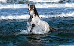 white horses running in water. Perfect Water Wide  To White Horses Running In Water