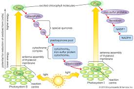 Picture Of Light Reaction Photosynthesis The Pathway Of Electrons Britannica