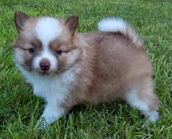pomeranian husky full grown. Brilliant Pomeranian And Pomeranian Husky Full Grown A