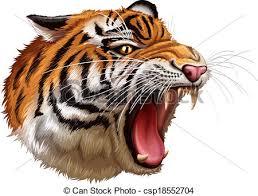 tiger roar side view. Perfect Roar A Head Of A Roaring Tiger  Csp18552704 In Tiger Roar Side View