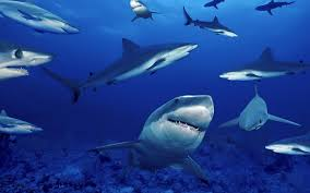 shark wallpaper hd. Wonderful Shark Shark Wallpaper HD Pictures  Animal Wallpapers For Hd H