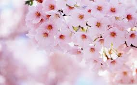 spring background pictures for desktop. Cherry Blossoms Desktop Background On Spring Pictures For