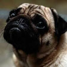 here are the best gifts for pug