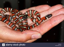 milk snake size young eastern milk snake lampropeltis stock photos young eastern