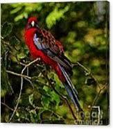 Crimson Rosella Photograph by Blair Stuart