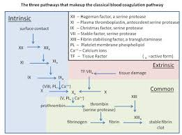colm g the ponents and pathways that make up the clical blood coagulation cascade