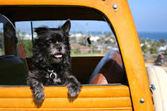 bringing a new puppy home picture of a little black dog hanging out of a woo station wagon