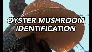 Oyster Identification Chart Oyster Mushroom Pleurotus Ostreatus Identification With Adam Haritan