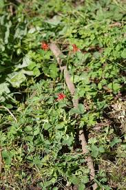 mountain strawberry with western columbine under ponderosa pine iat the edge of a meadow at 7400