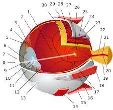 Eye Diseases Chart Human Eye Wikipedia