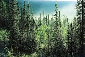 Pine Wallpapers, Pine Cone Wallpaper ...