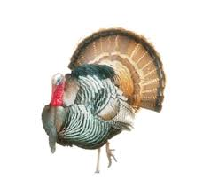 Chickens have actually surpassed the thanksgiving bird when it comes to weight gain, according to a report (pdf) from the. Buy Eastern Turkey On Buy Game Meats Low Prices For Eastern Turkey