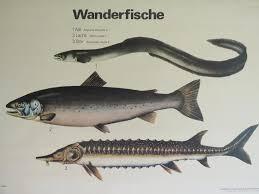 Vintage School Chart Of Eel Salmon Sturgeon Educational Wall Chart Fish Poster