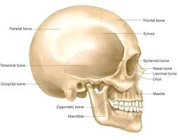 all of the organs in the digestive system digestion five all the bones in the skull