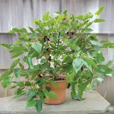 SILK HOPE MULBERRY TREE  Just Fruits And ExoticsNon Fruiting Mulberry Tree