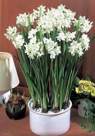 White Paper Flower Bulbs Paper White Ziva