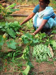 Kitchen Garden In India Photo Album Kannur Association For Integrated Rural Organistion