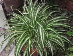 Chlorophytum comosum - Source: Wikipedia
