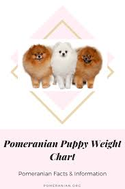 Pomeranian Weight Chart Pomeranian Puppy Pomeranian