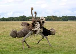 featherless ostrich. Fine Ostrich On Featherless Ostrich G