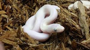 White Snake Wallpapers - Top Free White ...