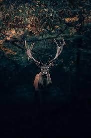 Deer Wallpapers: Free HD Download [500+ ...