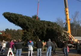 healthy 75 tree cut down to decorate rockefeller center does it