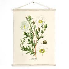 Pull Down Chart Botanical White Mexican Poppy Reproduction Print Vintage Science Plate Print Edcuational Diagram Flower B017cv