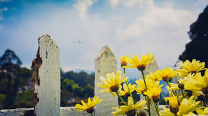 Yellow Daisies Flowers Fence Wallpapers ...