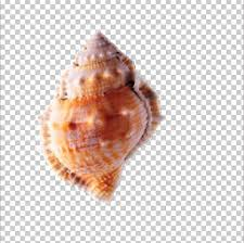 Seashell Chart Seashell Conch Png Clipart Cartoon Conch Chart Clam
