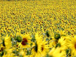 Stroll Through Fields of Gold in the Best Sunflower Fields in New York |  News Break