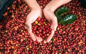 100% pure hawaiian coffeeberry coffee fruit extract (coffea arabica) (30ml) is there research showing this could help? Why Coffee Fruit Is Trending Nutrition Myfitnesspal