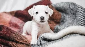 cute small white puppy wallpaper