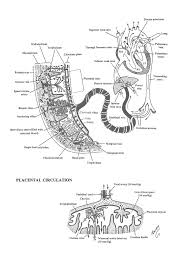Chapter 42 Placental Circulation Review Of Medical